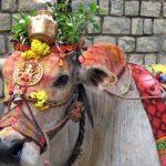 Thanksgiving Festival of Cattle – Mattu Pongal / Kanuma