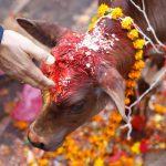सज-धज कर 3100 गाय मनाएंगी जन्माष्टमी