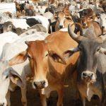 श्री पिंजरापोल गौशाला: एक गाय से बनी गौशाला, आज है 450 गायों का घर